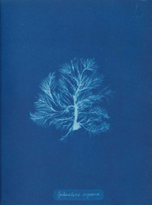 Art prints of Sphacelaria scoparia by Anna Atkins