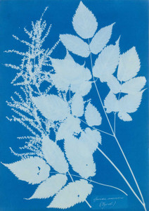 Art prints of Spiraea aruncus by Anna Atkins