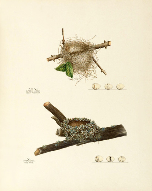 Art Prints of Acadian Flycatcher and Wood Pewee Nests Plate XIX, American Bird Nests