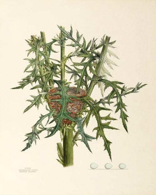 Art Prints of American Goldfinch Nest, Plate XLIII, American Bird Nests