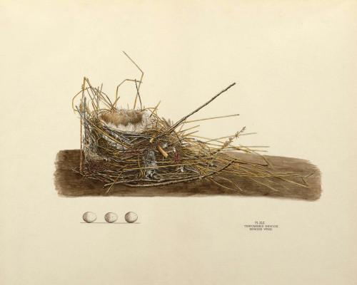 Art Prints of Bewick's Wren Nest, Plate XLII, American Bird Nests