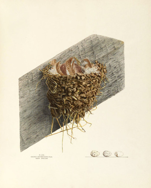 Art Prints of Barn Swallow Nest, Plate XIII, American Bird Nests