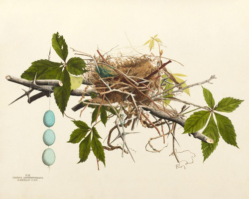Art Prints of Black Billed Cuckoo Nest, Plate III, American Bird Nests