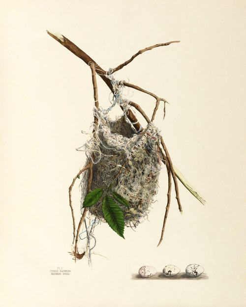 Art Prints of Baltimore Oriole Nest, Plate I, American Bird Nests