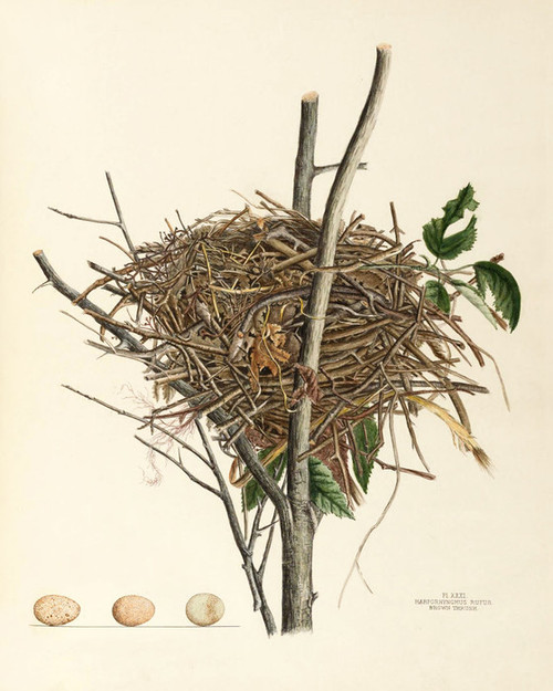 Art Prints of Brown Thrush Nest, Plate XXXI, American Bird Nests