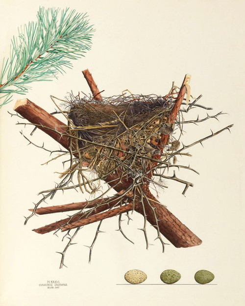 Art Prints of Blue Jay Nest, Plate XXXVI, American Bird Nests