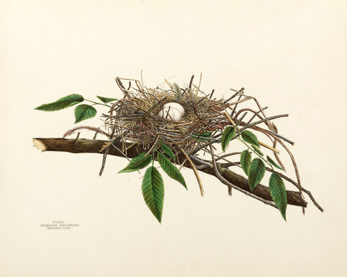 Art Prints of Carolina Dove Nest, Plate XXIV, American Bird Nests