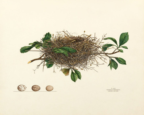 Art Prints of Cardinal Red Bird Nest, Plate XXII, American Bird Nests