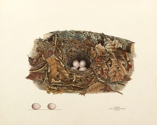 Art Prints of Chewink Nest, Plate XXXVII, American Bird Nests
