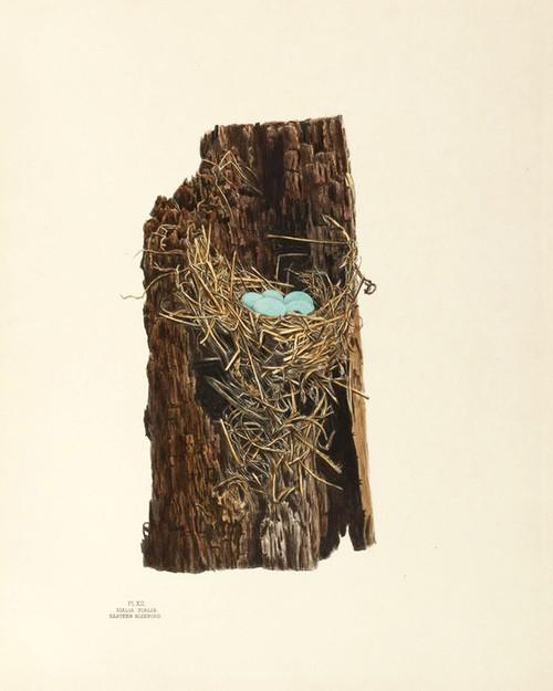 Art Prints of Eastern Bluebird Nest, Plate XII, American Bird Nests