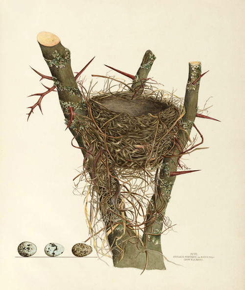 Art Prints of Crow Blackbird Nest, Plate VII, American Bird Nests