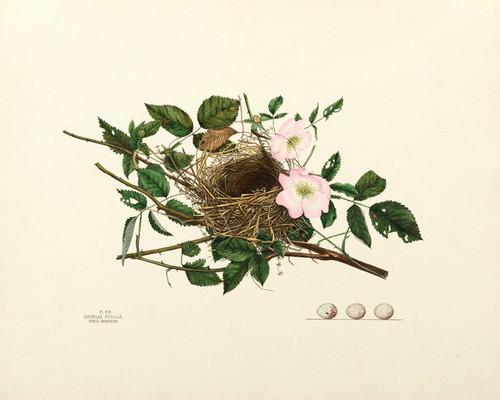 Art Prints of Field Sparrow Nest, Plate XVI, American Bird Nests
