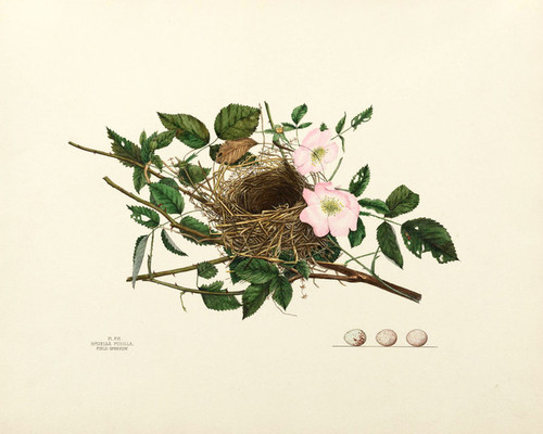 Art Prints of Field Sparrow Nest, Plate XVI, American Bird Nests