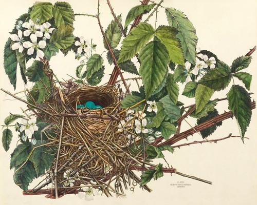 Art Prints of Catbird Nest, XVII, American Bird Nests
