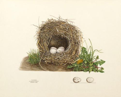 Art Prints of Meadow Lark Nest, Plate XXXVIII, American Bird Nests
