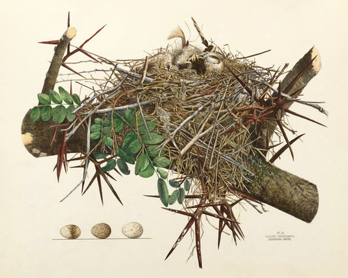 Art Prints of Loggerhead Shrike Nest, Plate IX, American Bird Nests
