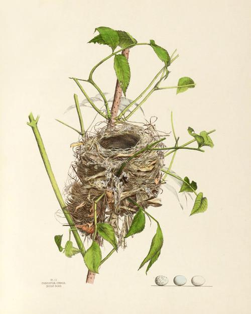 Art Prints of Indigo Bird Nest, Plate IV, American Bird Nests