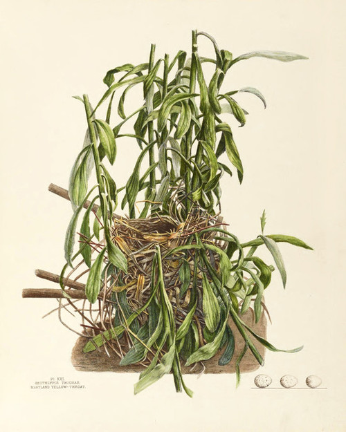 Art Prints of Maryland Yellow Throat Nest, Plate XXI, American Bird Nests