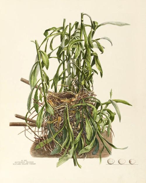 Art Prints of Maryland Yellow Throat Nest, Plate XXI, American Bird Nests