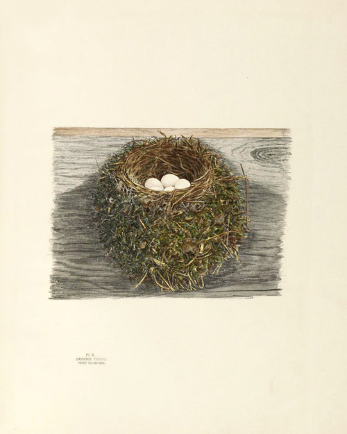 Art Prints of Pewit Flycatcher Nest, Plate X, American Bird Nests