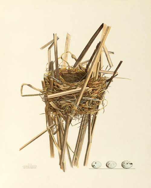 Art Prints of Red Winged Blackbird Nest, Plate V, American Bird Nests