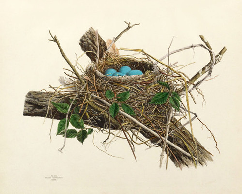 Art Prints of Robin Nest, Plate VIII, American Bird Nests