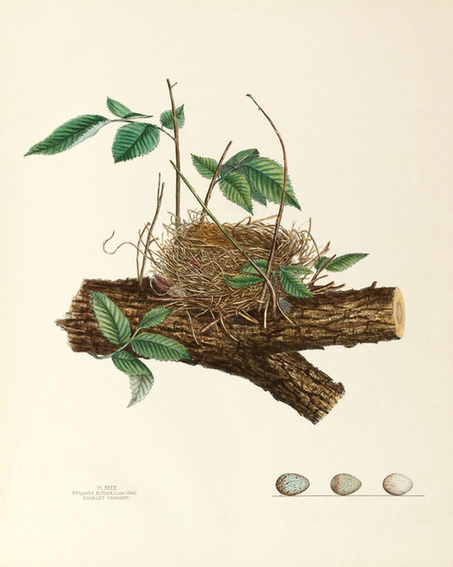 Art Prints of Scarlet Tanager Nest, Plate XXXIII, American Bird Nests