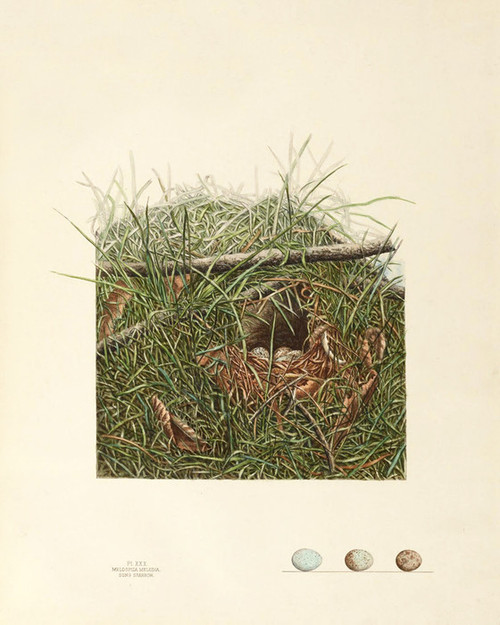Art Prints of Song Sparrow Nest, Plate XXX, American Bird Nests