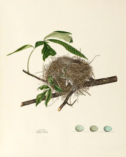 Art Prints of Summer Redbird Nest, Plate XXXIV, American Bird Nests