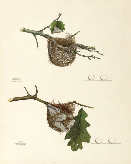Art Prints of Warbling and Red Eyed Vireo Nests, Plate XXIII, American Bird Nests