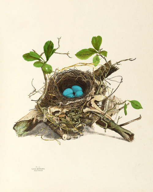 Art Prints of Wood Thrush Nest, Plate II, American Bird Nests