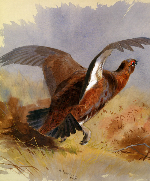 Art Prints of Game Bird, Detail by Archibald Thorburn