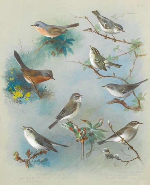 Art Prints of Warbler and Wrens, 1913 by Archibald Thorburn