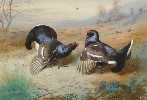 Art Prints of Blackcocks at the Lek, 1901 by Archibald Thorburn