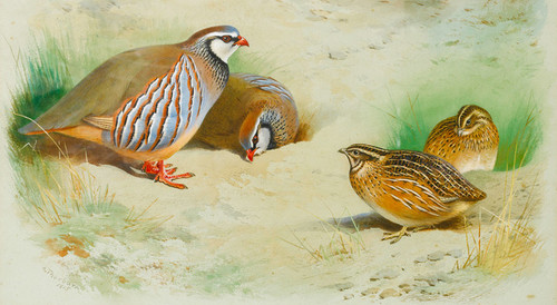 Art Prints of French Partridge and Chicks by Archibald Thorburn