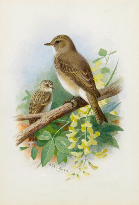 Art Prints of Spotted Flycatchers by Archibald Thorburn