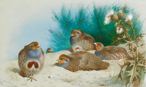 Art Prints of English Partridge with Gorse and Thistles by Archibald Thorburn
