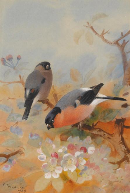 Art Prints of Bullfinches by Archibald Thorburn