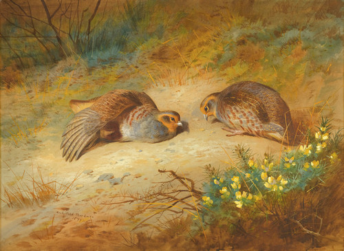 Art Prints of Grey Partridge by Archibald Thorburn