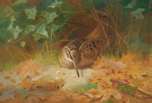 Art Prints of Woodcock by Archibald Thorburn