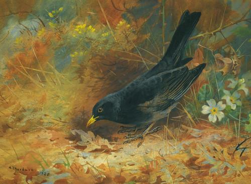 Art Prints of Blackbird by Archibald Thorburn