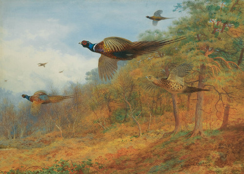 Art Prints of Pheasants Breaking Out of Cover by Archibald Thorburn
