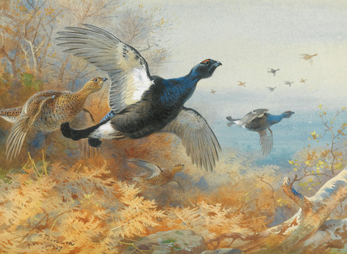 Art Prints of Blackcock Forward by Archibald Thorburn