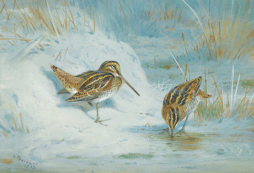 Art Prints of Frozen Out, Snipe by Archibald Thorburn