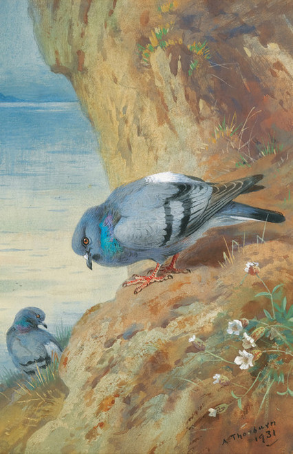 Art Prints of Rock Doves by Archibald Thorburn