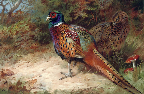 Art Prints of Common Pheasant by Archibald Thorburn