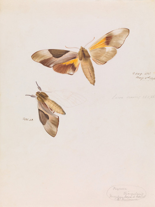 Art Prints of Double Headed Hawk Moth or Coequosa Triangularis by Arthur Bartholomew