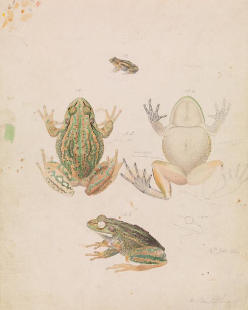 Art Prints of Growling Grass Frog or Litoria Raniformis by Arthur Bartholomew