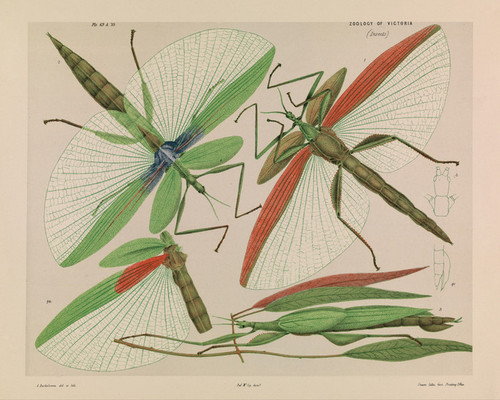 Art Prints of Red Shouldered Stick Insect by Arthur Bartholomew