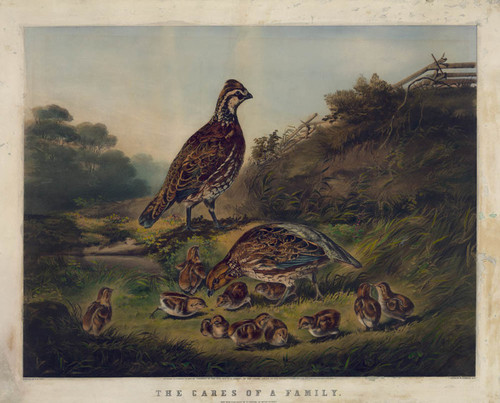 Art Prints of Partridges by Arthur Fitzwilliam Tait
